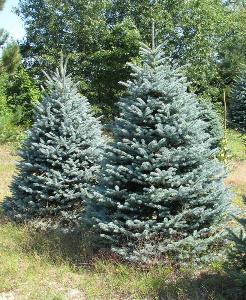 spruce dating site Spruce are the dominant tree throughout much of the northern extensions of the world's temperate regions and are very well  weeping spruce dating to 1958.