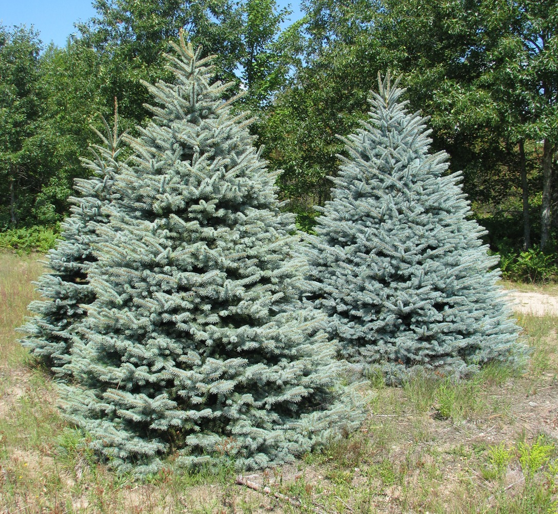 Wholesale christmas tree photos holiday trees inc for Cheap trees